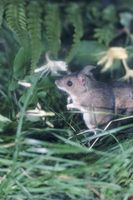 Spiser vilde mus Bush Bean planter?