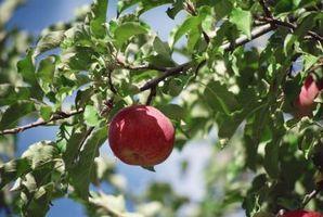 Apple Tree møl larver og silke kokoner