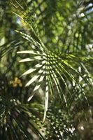 Hvad ville påføre gul marv Palms nær centrum?