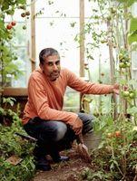 Hvordan til at bestøve tomat blomster