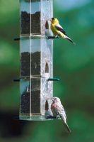 Hvordan man kan tiltrække de gule Finch til en rede
