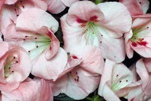 Rhododendron plantning hvornår