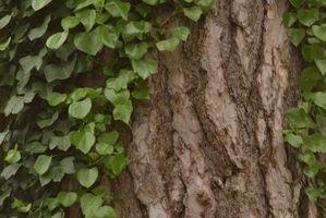 Redwood træer & Ivy problemer
