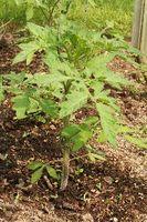 Tomatplanter og jord myg