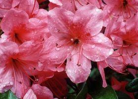 Hvordan til at trimme buske med lyserøde blomster