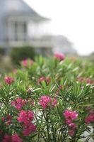 Oleander & mider