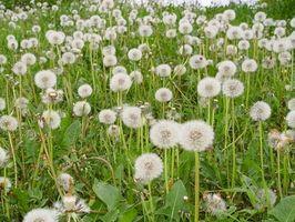 Hvordan man får en Weed gratis græsplæne, når du har ler til jord