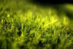 Ved hvilken temperatur Zoysia græs igen brun?
