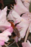Hvorfor er min Rhododendron blade dør?