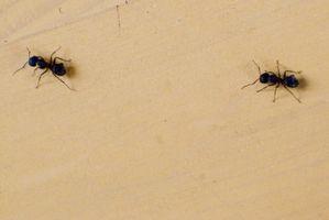 Vil borsyre dræbe myrer?