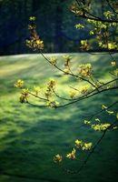 Oak Tree fjernelse love i Californien