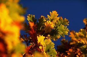 Nordlige Red Oak Leaf perforering årsager
