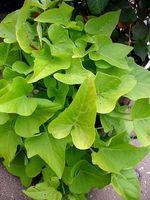 Hvordan at vokse & pleje sød kartoffel vinstokke