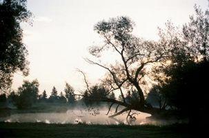 Naturlige problemer af Globe piletræer