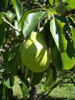 Hvordan man dyrker frugttræer i kystnære områder