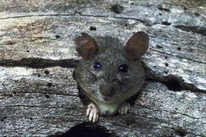 Tegn på rotter i en Crawlspace