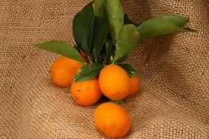 Hvad kan være galt, når min Kumquat træ holder taber bladene?
