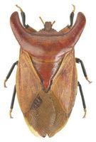 Effekter af Stinkbugs på tidsler