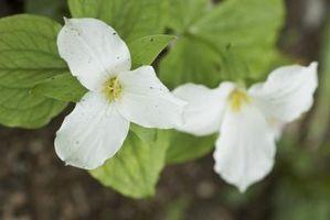 Sådan Sprout Trillium frø