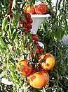 Hvordan man dyrker tomater, peberfrugter, agurker i containere