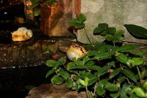 Hvordan man dyrker haletudser for en dam