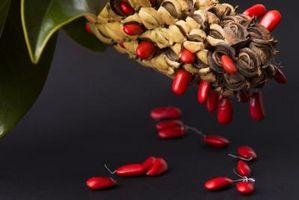 Sådan får du Magnolia træ frø