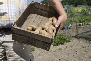 Sådan Plant kartofler i Virginia