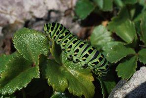 Forskelle mellem maddiker & larver