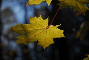 Ahorn træer i Washington