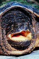 Kan jeg holde en skildpadde i en foret Dam?