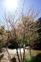 Interessante fakta om enebærtræet