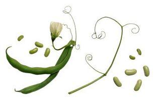 Hvordan man dyrker en bønne frø i en taske