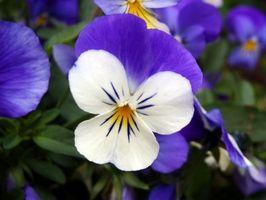 Opdeles Viola planter?