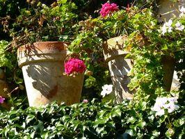 Kan du vand potteplanter planter for meget?