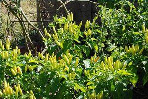 Hvordan man dyrker Tabasco peber