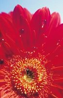 Levested for Gerbera Daisy