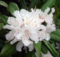 Min Oleander blomstrer ikke