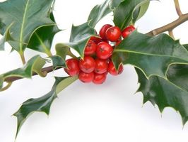 Voksende Holly træ fra bær