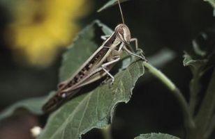 Hvordan at slippe af græshopper økologisk