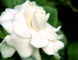 Hvad blomster er magen til Gardenias?