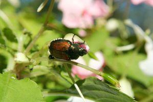 Hvordan man laver en økologisk Spray for japanske biller