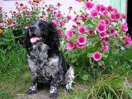 Hvordan at slippe af modermærker for det meste i blomsterbede ved hjælp af hunde