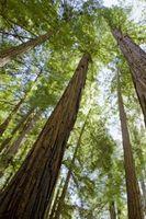 Hvordan du forbereder Sequoia Sempervirens frø