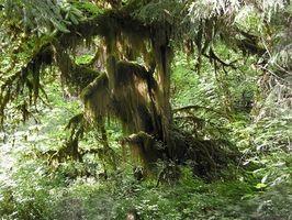 Ældste træer i staten Washington