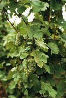 Økologiske foranstaltninger med japanske Beetle i vingården
