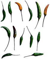 Hvornår skal man høste Dragon peberfrugter