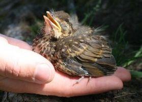 Hvordan man tager sig til Baby fugle