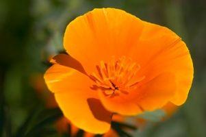 Liste over navnene på Californien blomster
