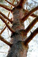 Insekticid til træ snudebiller