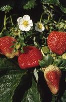 Hvad hjælper jordbær Bloom?